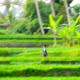 Little Girl in the Rice Fields