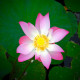 Water Lily, Full Bloom